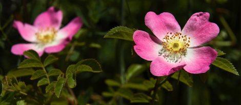 Todas las bondades de la Rosa Mosqueta