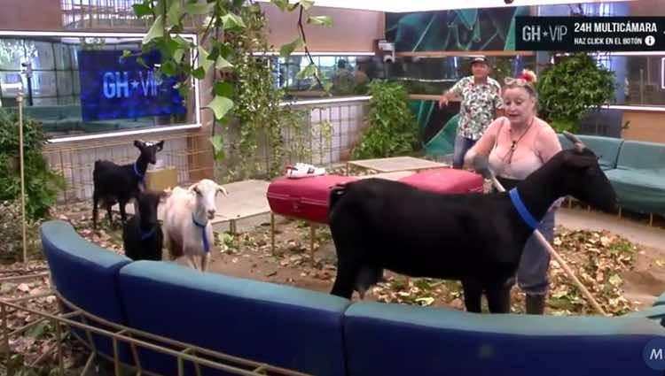 Aramís Fuster lidiando con las cabras mientras barre el salón / Directo GHVIP