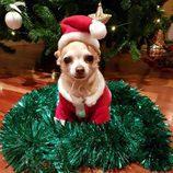 El perrito de Paula Echevarría con el árbol de Navidad de fondo